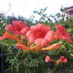 Trompetenblume, Campsis