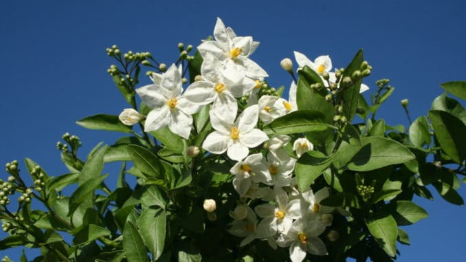 Sommerjasmin, Kletterpflanze, Kübelpflanze, Jasmin,