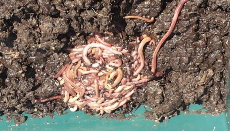 Kompostwurm, Würmer