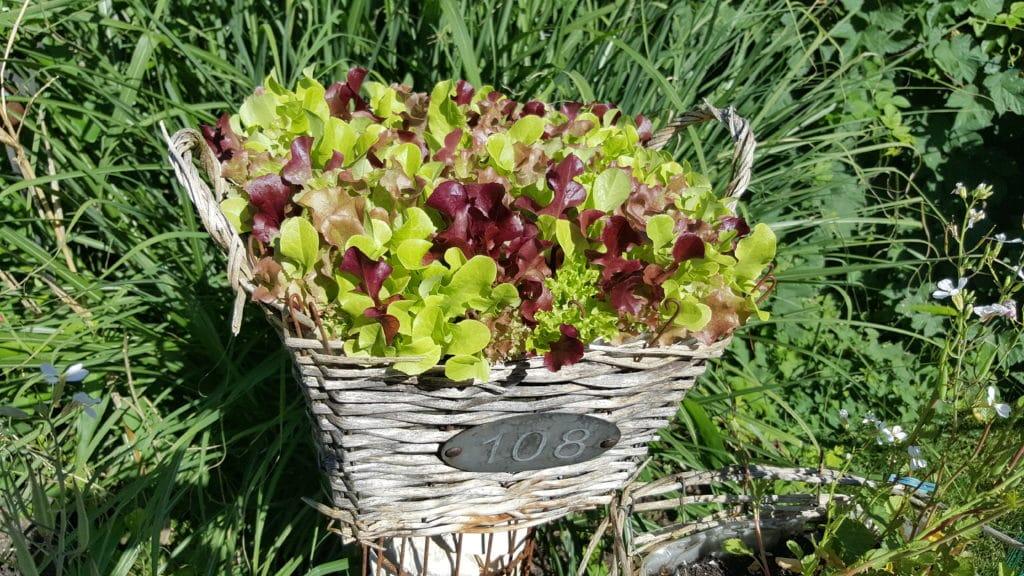Salat, Pflücksalat im Topf
