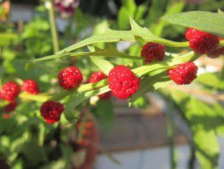 Erdbeerspinat - die reifen Früchte.