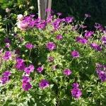 Storchenschnabel, pink, Blume, Gartenzeitung.com