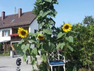 Riesen-Sonnenblumen für den Garten