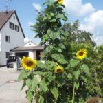 Sonnenblumen im Riesenformat
