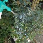 spritzen, Gift, biologisch, Blattläuse, Gartenzeitung.com