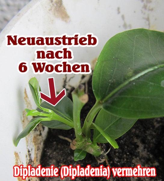 Dipladenia Steckling vermehren