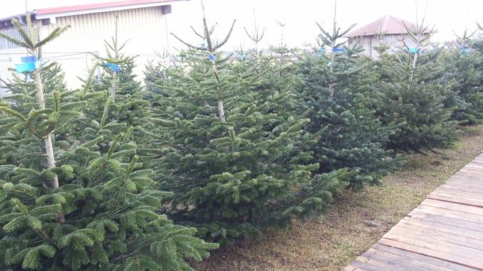 Weihnachtsbaum, Christbaum kaufen
