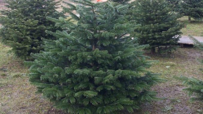 Weihnachtsbaum, Christbaum auspflanzen