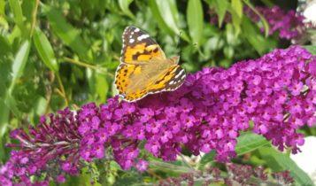 Schmetterling Flieder