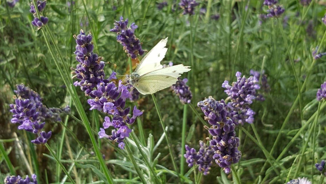 Schmetterling sitzt auf Lavendel