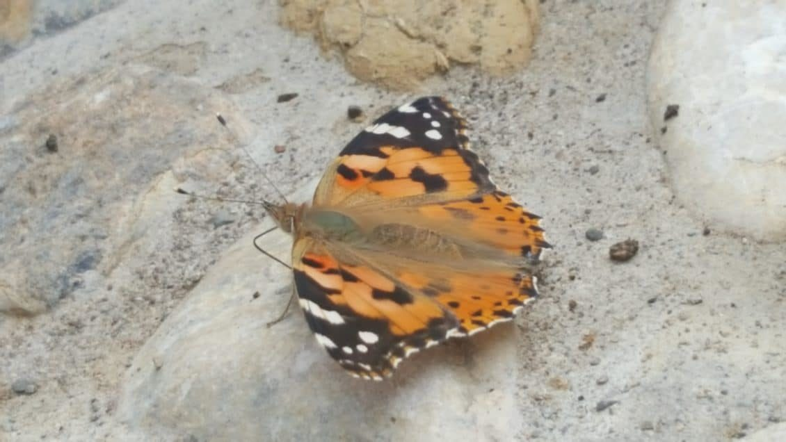 Schmetterling sitzt auf Stein
