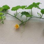 Zucchini als Kletterpflanze
