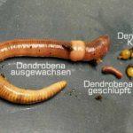 Entwicklung der Kompostwürmer