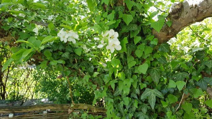 Kletterpflanzen Für Kleine Gärten In Der Stadt Gartenzeitungcom