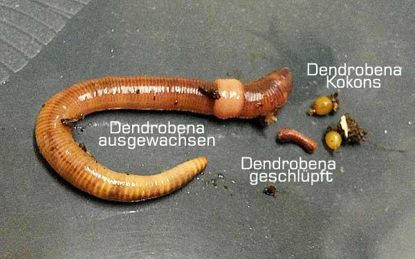Entwicklung der Dendrobena-Würmer