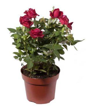 Topfrosen auspflanzen