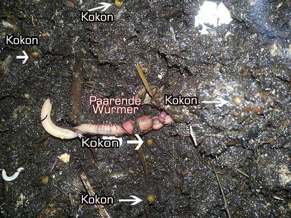 Würmer & Regenwurmkokons