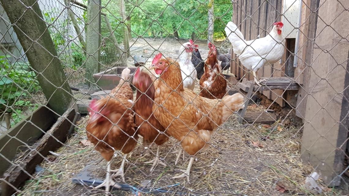 Hühnerhaltung im eigenen Garten - Gartenzeitung.com