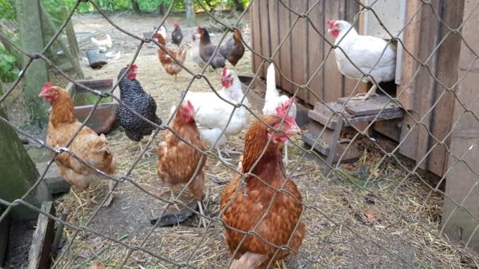 Huhn, Hühner, Tiere, Garten, Gartenzeitung.com