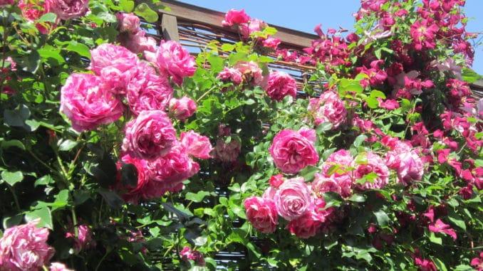 Rose, Kletterrose