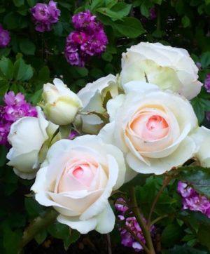 bedeutung von rosen