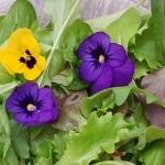 Essbare Blüten, Blumen zum Essen, Verzehr, Stiefmütterchen, Viola, Gartenzeitung.com