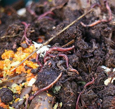 Kompostwuermer