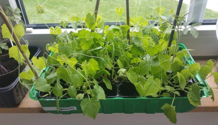 pikieren, vereinzeln, Aussaat, Jungpflanzen