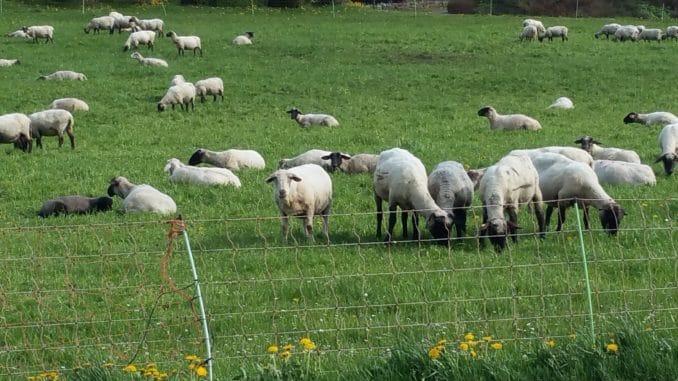 Schafe: Schwafwolle als Dünger nutzen