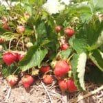 Erdbeeren auf Stroh, Erdbeerfeld, Gartenzeitung.com
