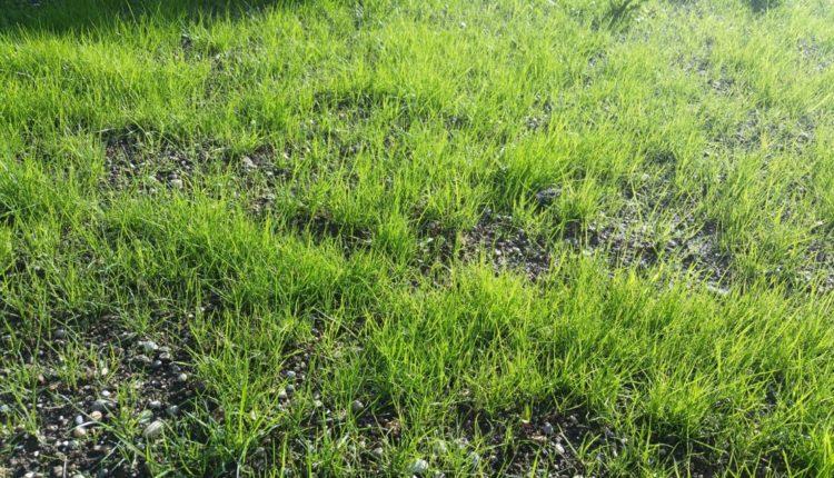 Rasen, Wiese, Rasenpflege, Gartenzeitung.com