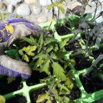 Tomaten pflanzen, Setzlinge