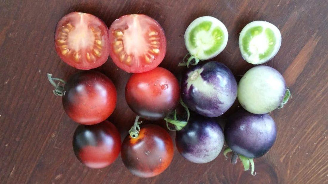 Schwarze und rote Tomaten beim Nachreifen im Haus