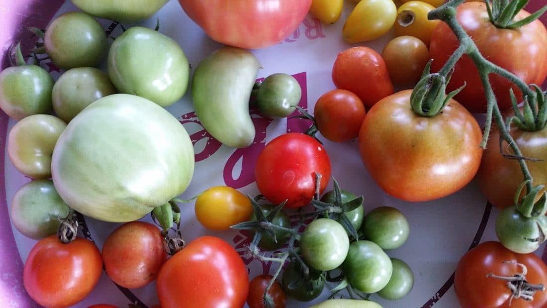 10 tipps f r eine gute tomatenernte. Black Bedroom Furniture Sets. Home Design Ideas