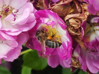 Biene, Rose im Garten @ Gartenzeitung.com