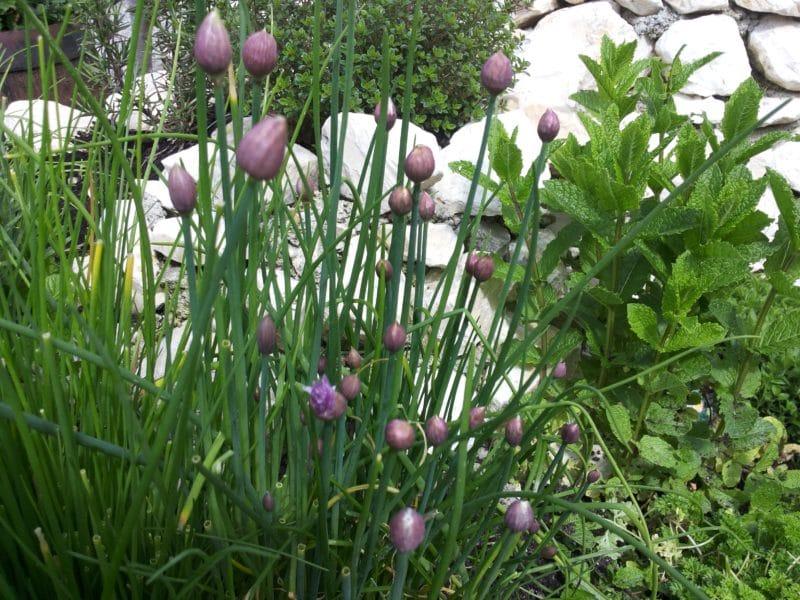 Schnittlauch während der Blüte