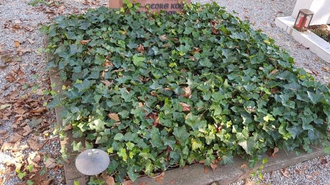 Bodendecker, Grab, Buchs, Friedhof, Gartenzeitung.com