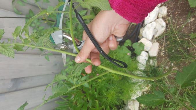 Tomatensteckling, Tomaten vermehren