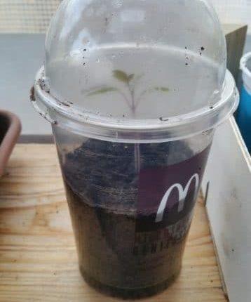 Aussaat, Milch-Shake Becher von Mac Donalds, @Gartenzeitung.com