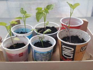 Upcycling, Tetrapak, Becher und Plastik zur Pflanzenaufzucht@ Gartenzeitung.com