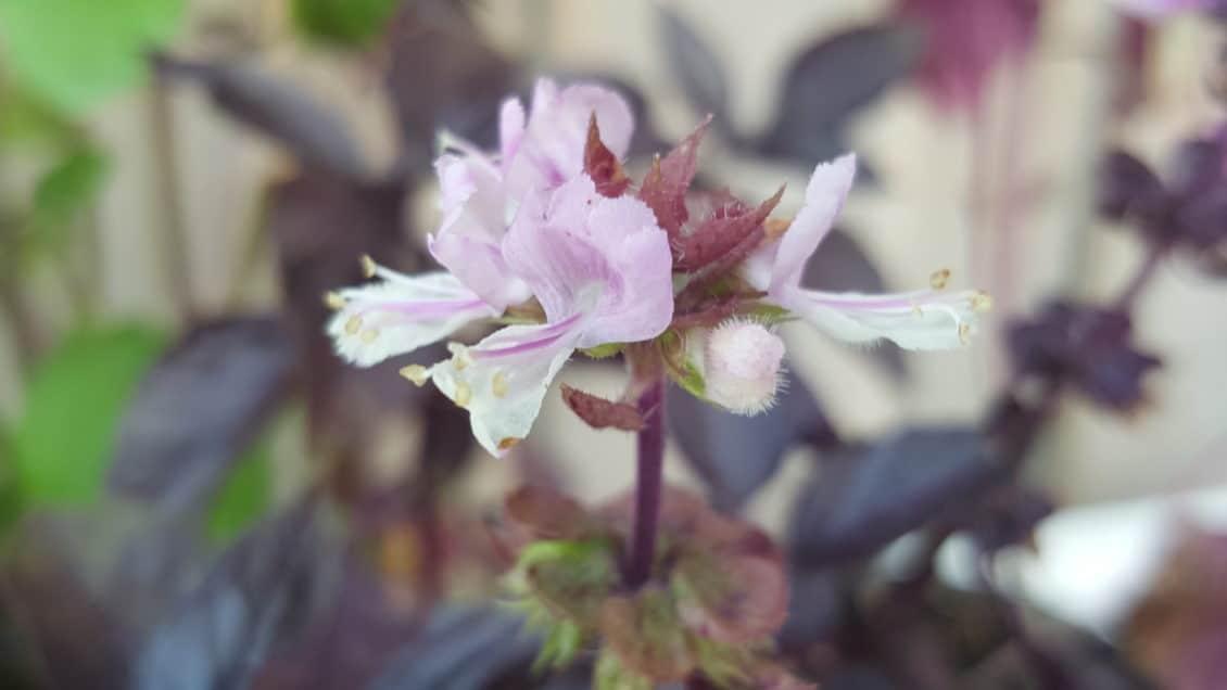 Blüte des Roten Basilikums
