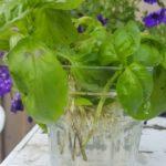 Basilikum Steckling, Basilikum vermehren