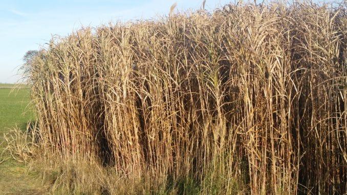 Miscanthus, Schilf, Gras, Chinaschilf