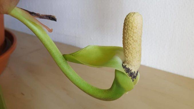 Glücksfeder Blüte, Zamioculcas-Blüte