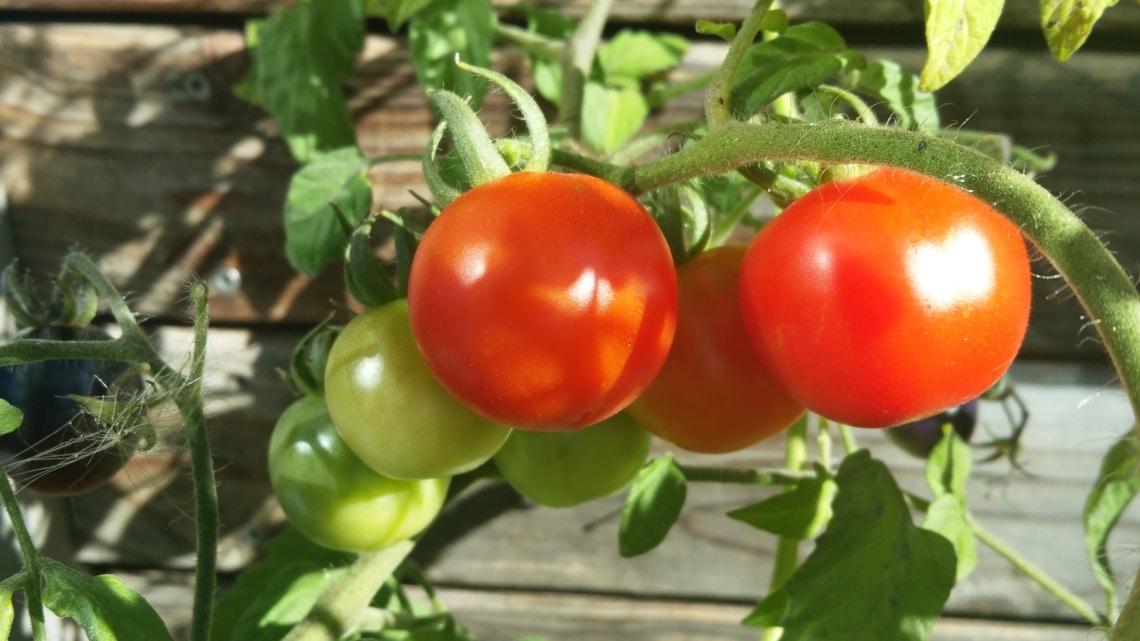 Reife Tomaten ernten, Gartenzeitung.com