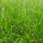 Rasen, Wiese