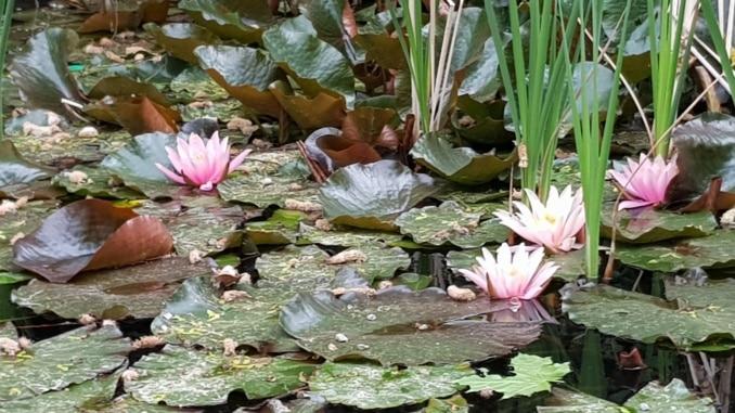 Seerose, Wasserpflanze, Teich,