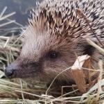 Igel, Nützling, Tier, Winterschlaf, Gartenzeitung.com