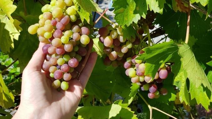 Wein, Weintrauben, Kletterpflanze, Gartenzeitung.com