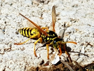 Wespe, Wespen, Nützlinge, Tiere, Gartenzeitung.com